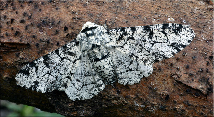 Biston betularia typica