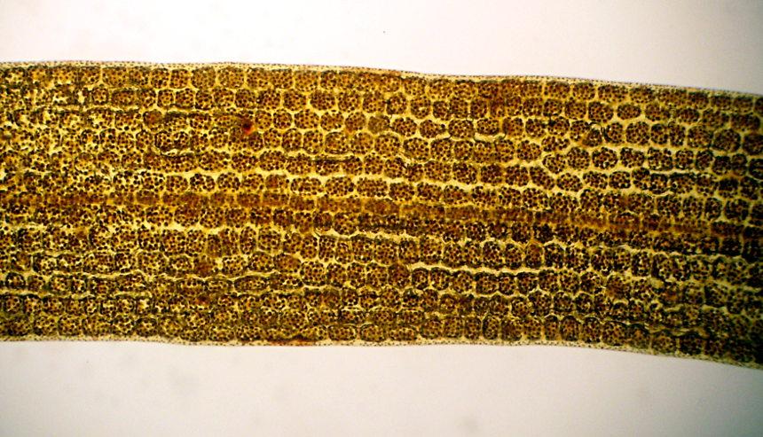 Cabomba Exposée à la lumière Microscope X40