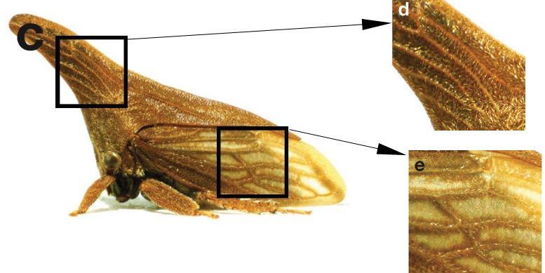 Vue d'ensemble (c) et détail du casque (d) et d'une aile (e) de Campylenchia latipes (1cm) - Membracidae