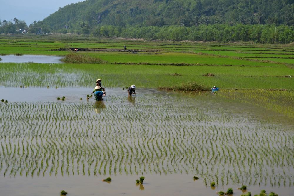 repiquage du riz au centre du Viet Nam
