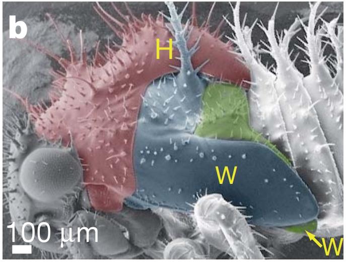 Stade larvaire n°5; H = Helmet(casque);  W = Wings (ailes)