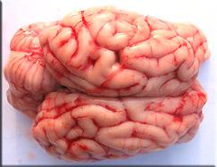 Cervelle de porc