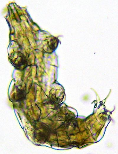 Tardigrade vu au microscope, grossissement x100