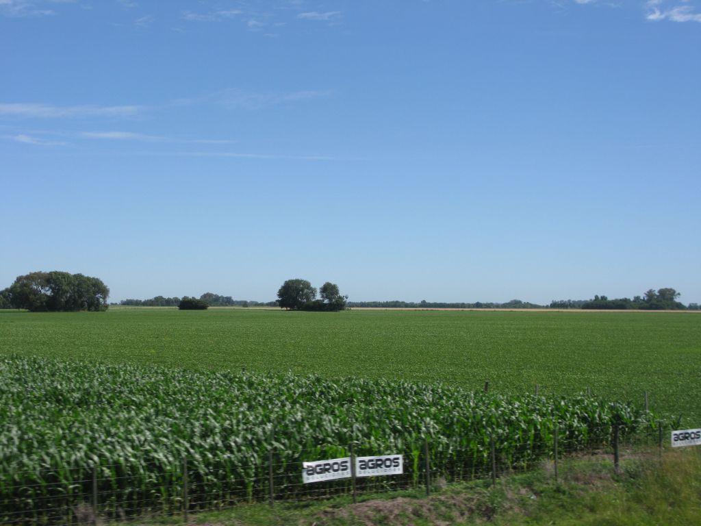 paysage de la papmpa argentine, un champ de maïs
